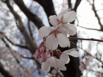 コシノヒガン花