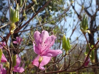 20190402ミツバツツジ花と葉up