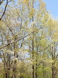 20200409カスミザクラ雑木林