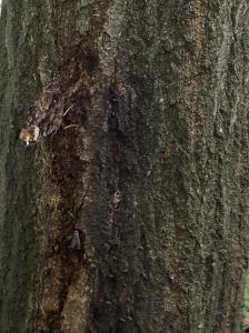 20200620ルリタテハ裏と樹皮1up