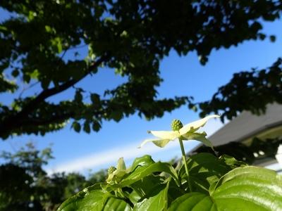 20200507ヤマボウシ花と空